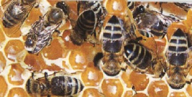Süße Orgie in den Honigwaben