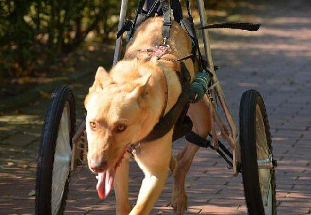 Eine Hundeleben auf zwei Beinen und zwei Rädern; Foto: Claudia Engel (DZ)