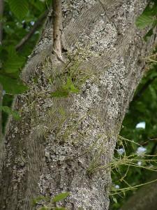 Eichenprozessionsspinner am Baum