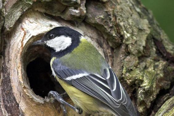 Der häufigste Vogel in Dorsten: die Kohlmeise; Foto: Frank Hecker (NABU)