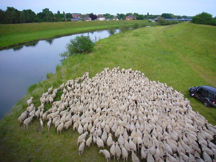 Viel Schafswolle an der Lippe