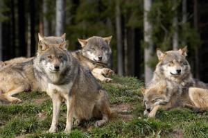 Wölfe sind in den Wäldern wieder heimisch geworden